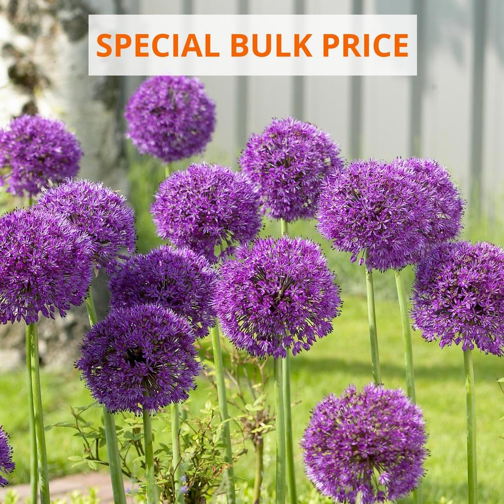Allium Purple Sensation Longfield Gardens With Images Bulbous Plants Flower Garden Bulb Flowers