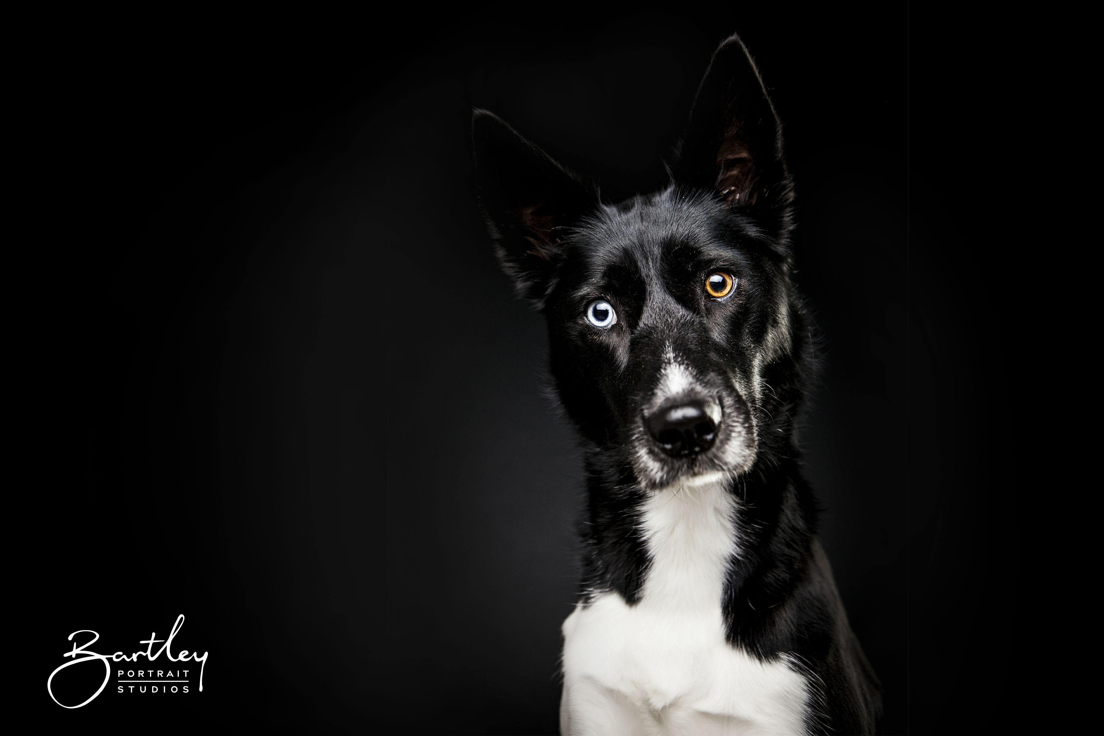 Dog portraits studio dog photography bartley portrait studios manchester black background