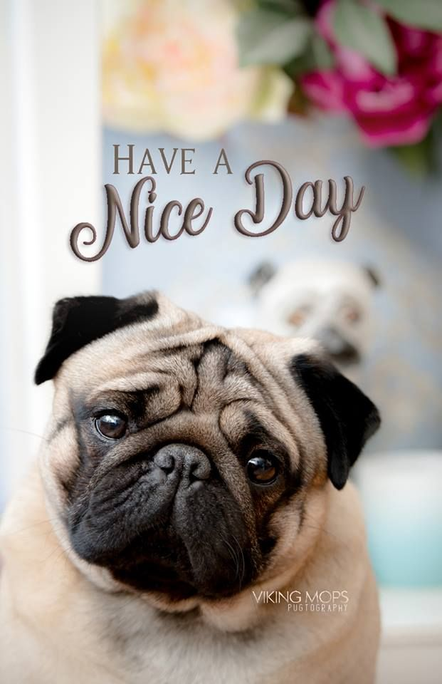 It S Always A Nice Day When You Are Owned By A Pug Cute Pug Puppies