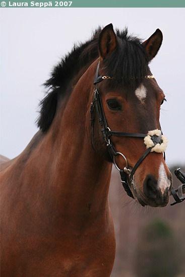 Estonian Native gelding Roki