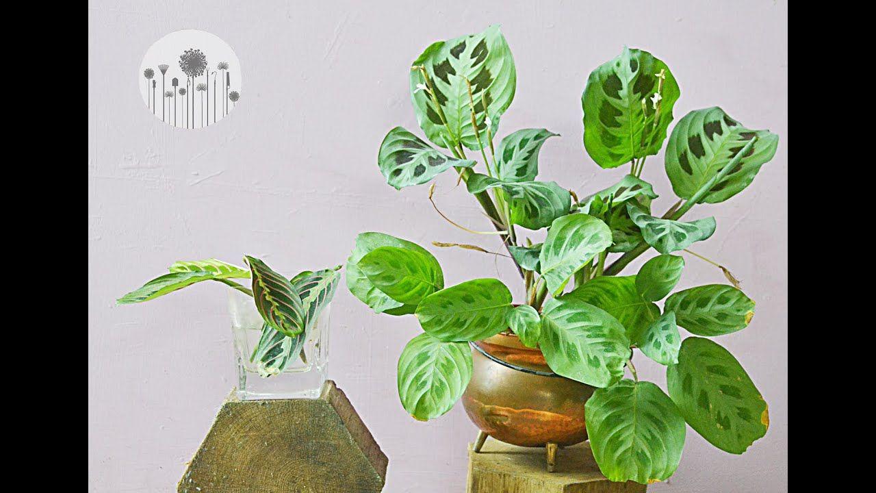 Jak Rozmnozyc Marante Sposoby Na Rozmnazanie Powielanie I Zageszczanie Maranty Plants