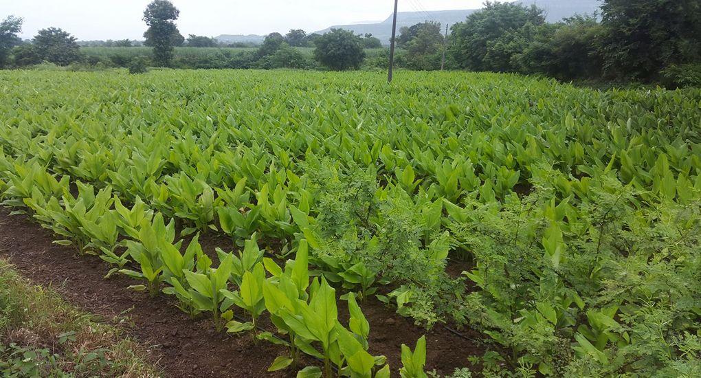 Turmeric Cultivation Farming techniques, Agriculture