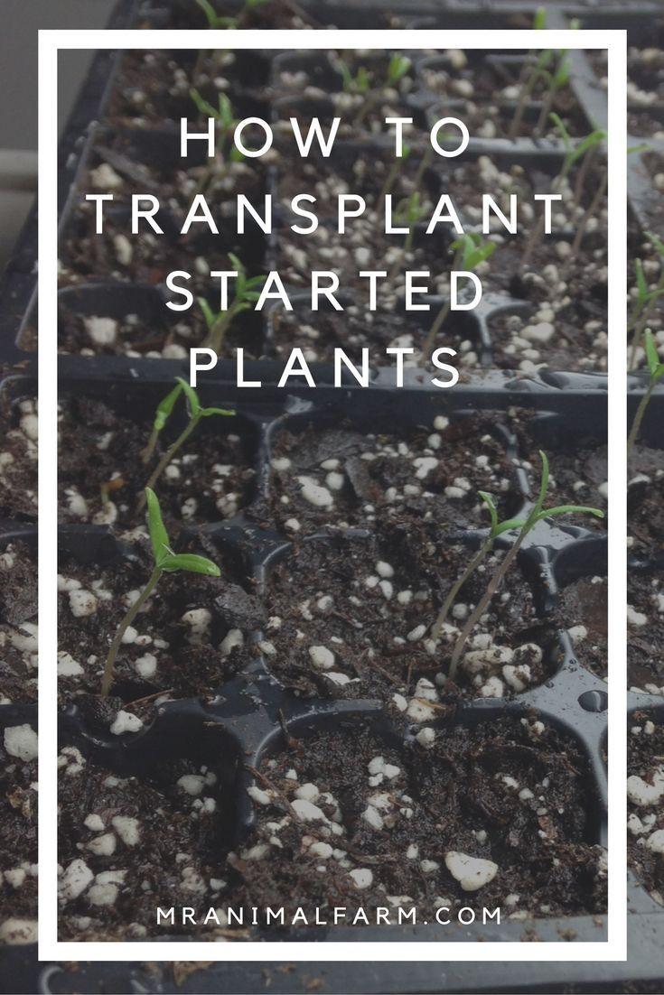 How to transplant started plants mranimal farm plants