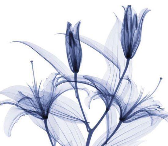Lirios vistos por Rayos X | flores sublimación | Pinterest | Lirios ...