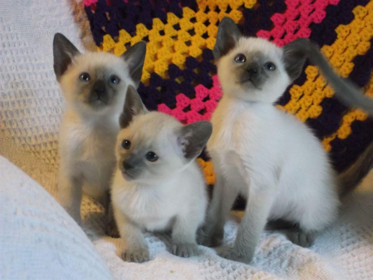 Funny Blue Siamese kittens Cats siamese Siamese
