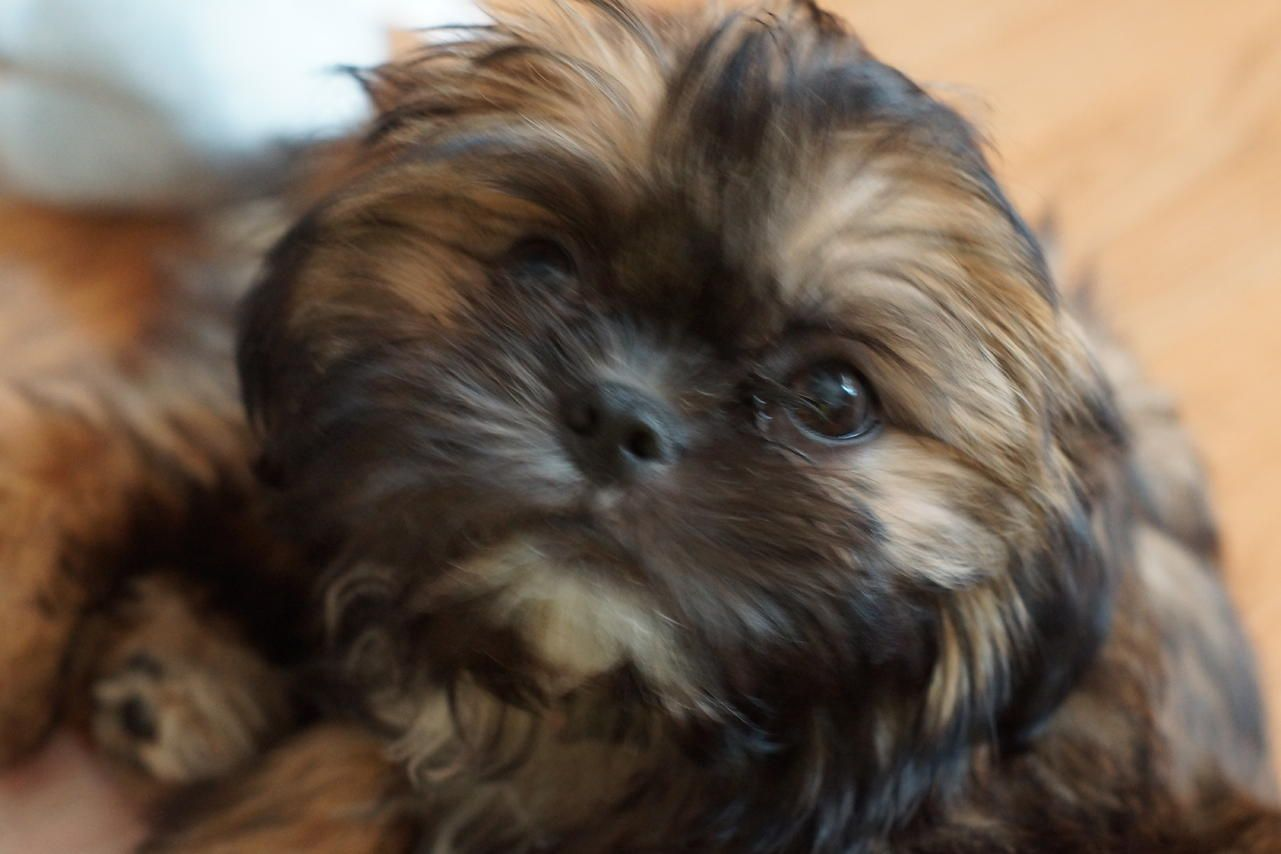 Images For Brown And Black Shih Tzu Adults Cat Pinterest