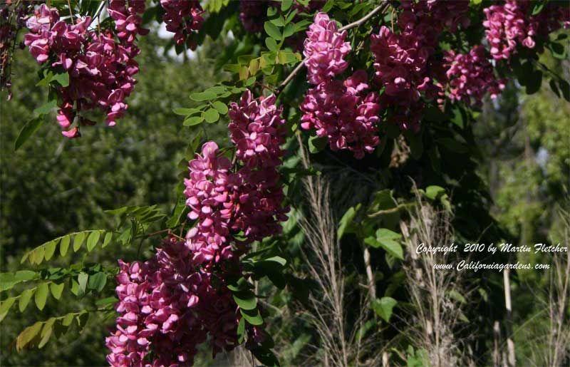 Mature height purple robe robinia