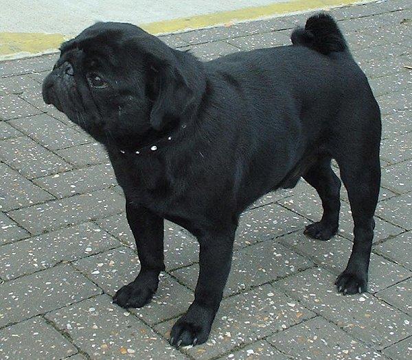 ข อม ลส น ขพ นธ ป ก Pug หน าตาม น ๆ เหม อนไม แคร โลก 14 ร ป Black Pug Dog Breed Info Small Dog Breeds
