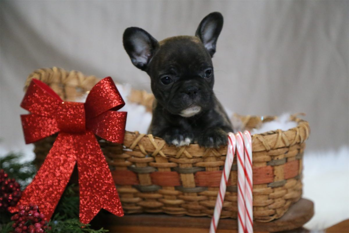 Christmas Puppy Puppiesforsale Puppies Carol A Female French