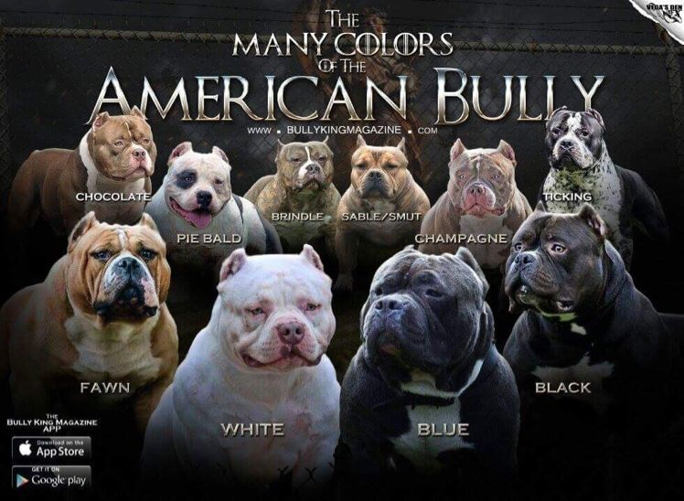 The Many Colors Of The American Bully American Bully Full Color Chart Tri Colored Bully Variations Bully Breeds American Bully American Bully Pocket