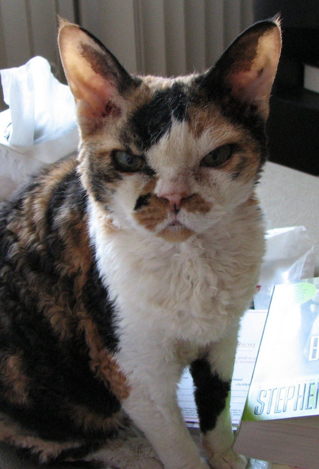 angrydevonrex.jpg devonrex Tops Tiny Cat Breeds at