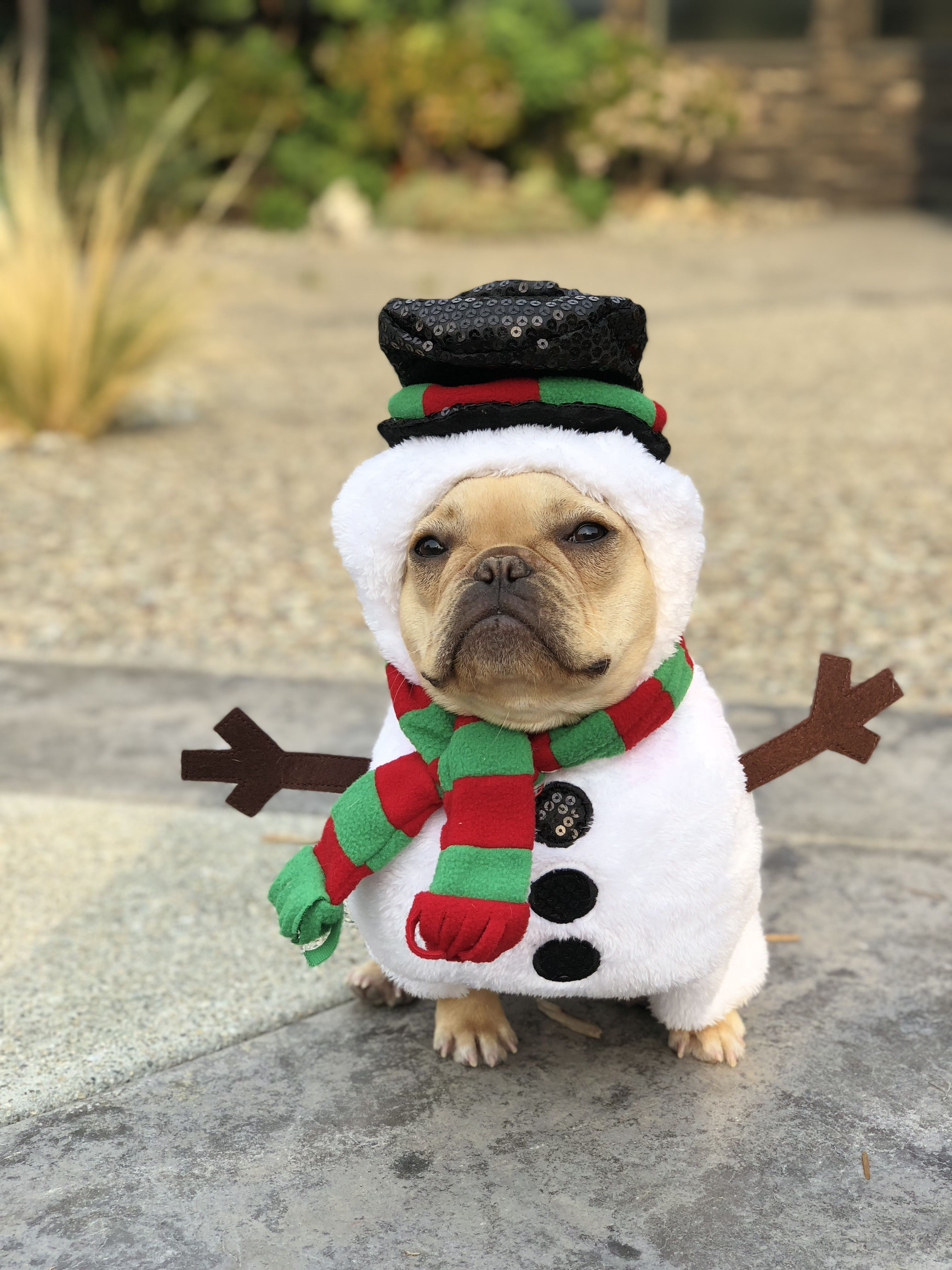 Alfie The French Bulldog In A Snowman Costume For Christmas