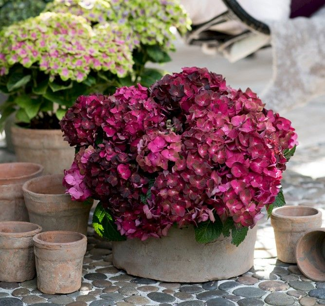 magical ruby tuesday hydrangea hortensja pinterest jardin en pots cour et belle couleur. Black Bedroom Furniture Sets. Home Design Ideas