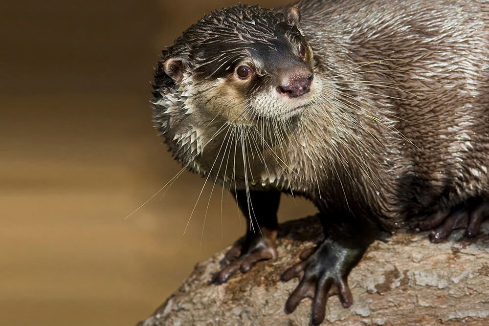 African Clawless Otter Displaying Webbed Feet Otters Animals