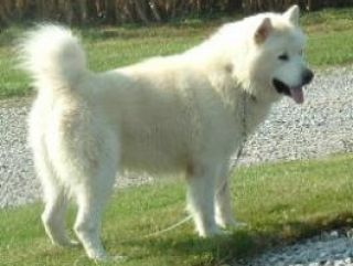 White Alaskan Malamute Dog My Favorite Family