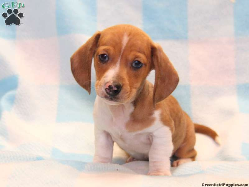 Silas Dachshund Puppy For Sale In Narvon Pa Puppies And