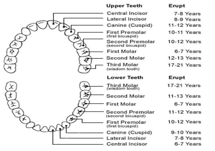 Age Of Eruption Of Teeth  Types Of Tooth Eruption  Helpful Home