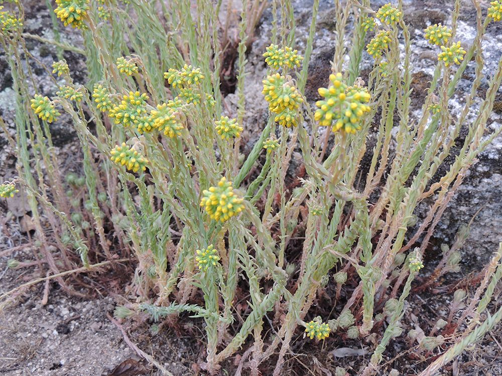 Sedum, Fichas de suculentas: http://www.elhogarnatural.com/Suculentas%20y%20crasas.htm y http://www.elhogarnatural.com/Cactaceas.htm