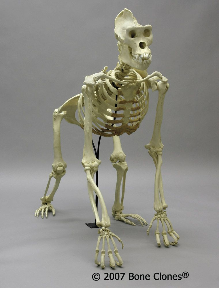 bone clones®gorilla skeleton - male lowland | customer pins from, Skeleton