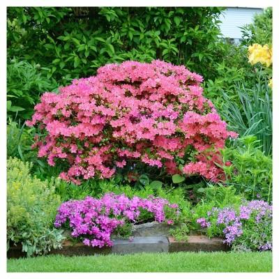 Azalea Hampton Beauty 1pc National Plant Network U S D A Hardiness Zone 7 10 Azaleas Plants Urban Garden