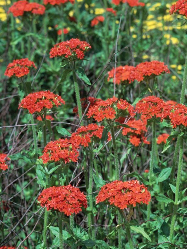 Maltese Cross Our Favorite Flowers Hummingbird plants