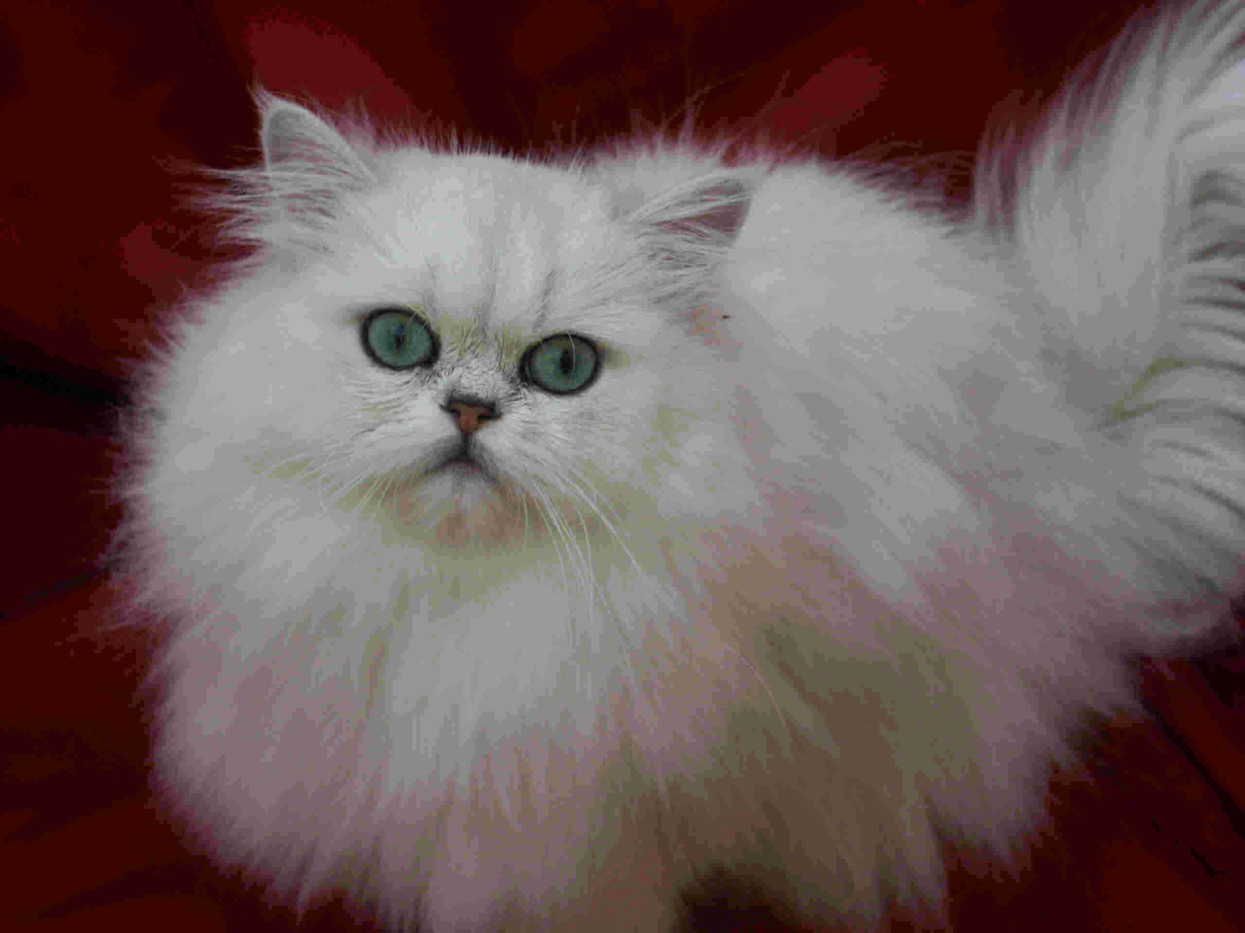 siberians female cats kittens photo gallery kitten contract