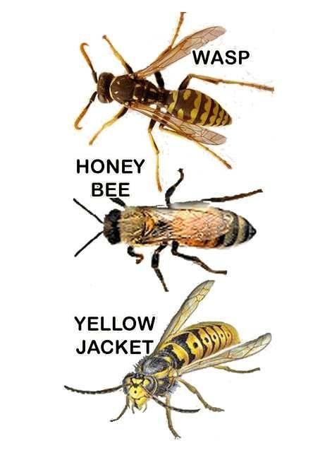 The Difference Between Wasps Honey Bees And Yellowjackets And How To Catch And Trap Yellow Jackets Bee Traps Meat Bees Bee
