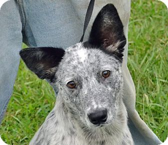 Searcy Ar Blue Heeler Mix Meet Angellica A Dog For Adoption
