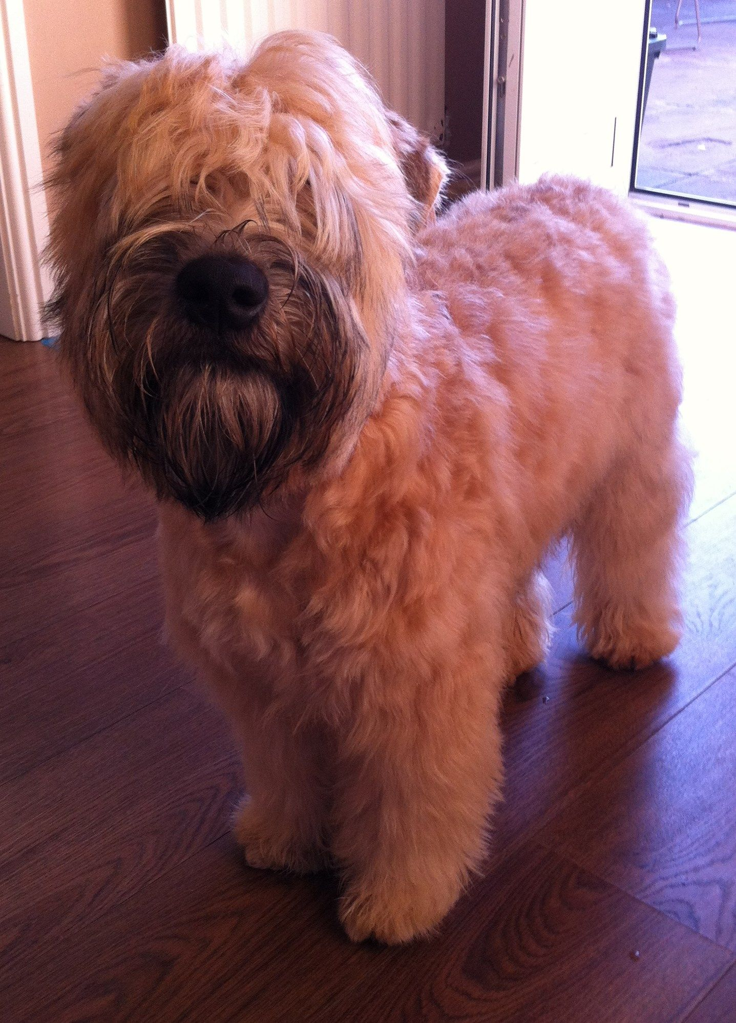the traditional soft coated wheaten terrier haircut dog ted the soft coated wheaten terrier aged 25wks showing