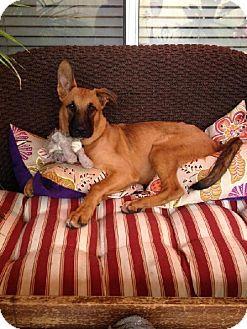 Queen Creek Az Belgian Malinois Mix Meet Mcqueen A Dog For