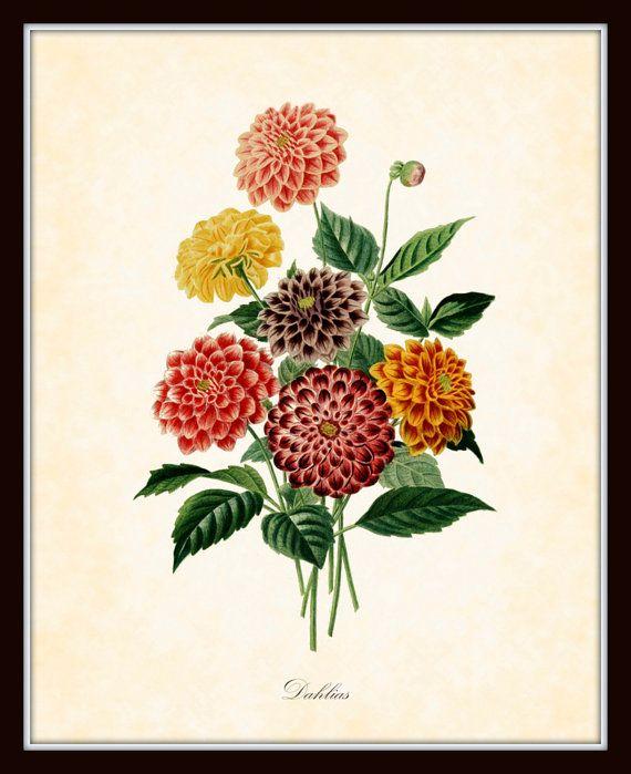 Antique Dahlias Botanical Art Print French 1849 8 x 10 Art Print Original Digital Collage