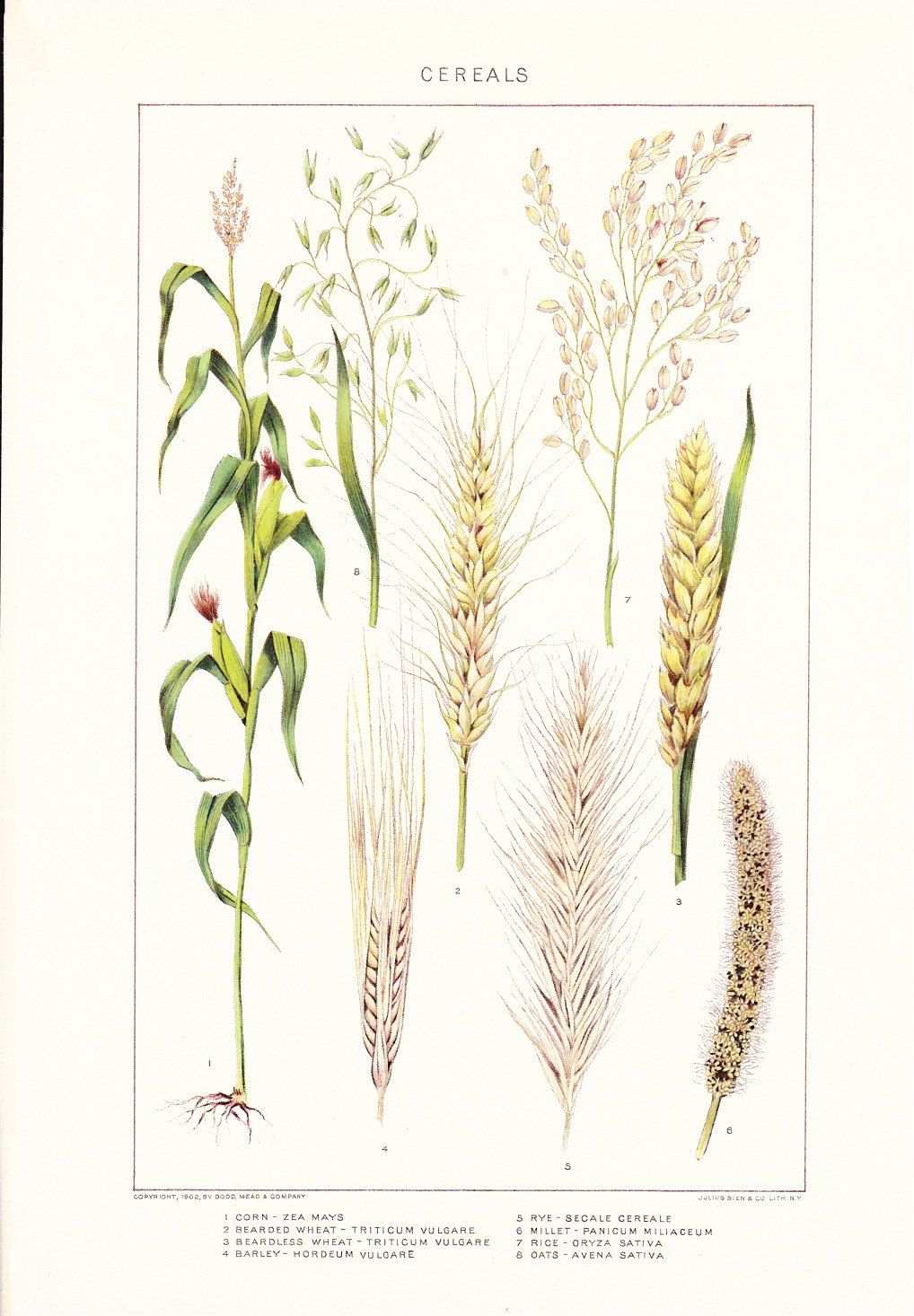 medium resolution of vintage wheat illustration google search
