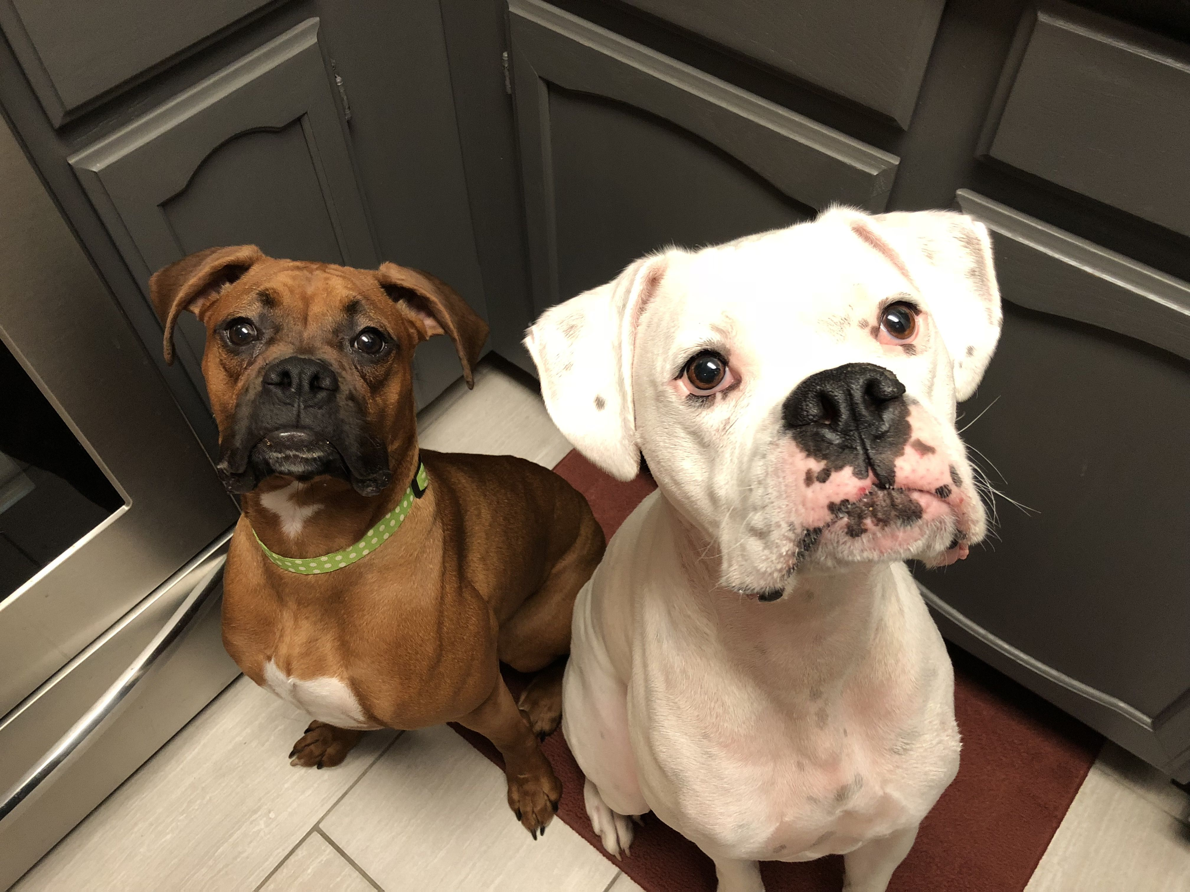 How To Train A Pair Of Boxer To Stop Stealing Each Other S Food