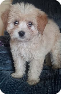 Rochester Ny Poodle Miniature Pomeranian Mix Meet Andy A
