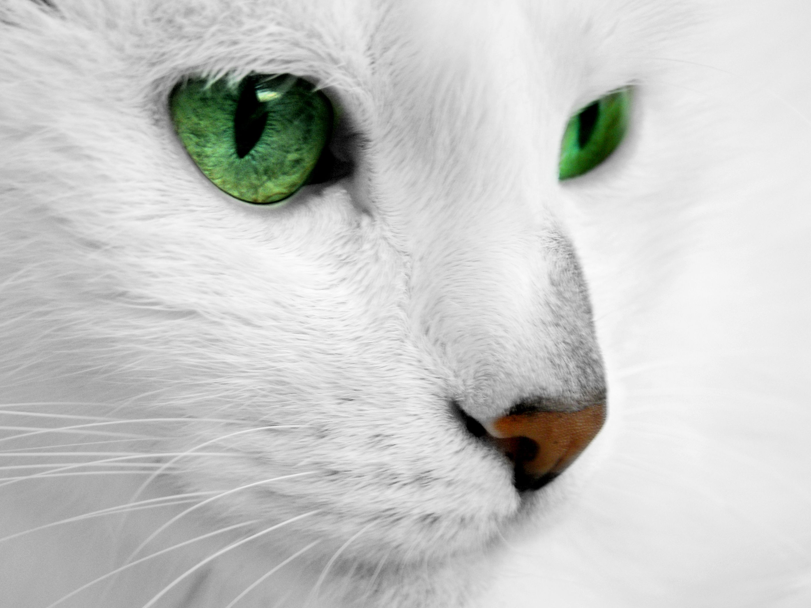 love a cat with fiercely green eyes. white cat with green eyes