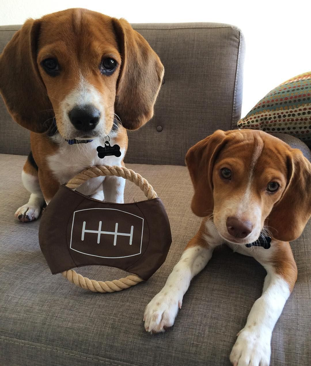 Howie A Chocolate Pocket Beagle Wyatt His Tri Colored Pocket