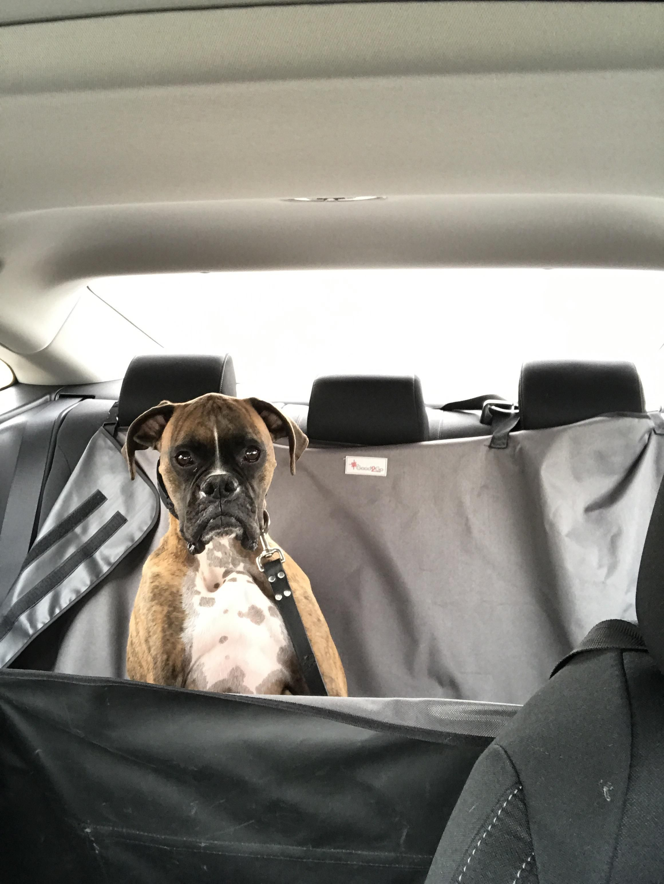 Thousand Mile Stare After The Vet Http Ift Tt 2gthrrd Boxer Dogs Funny Boxer Boxer Puppies