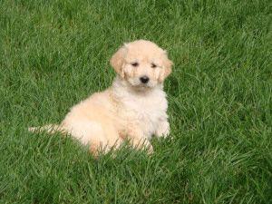 Golden Achiever Puppies S Achiever Bobbie S Puppy Lisa Sceviour