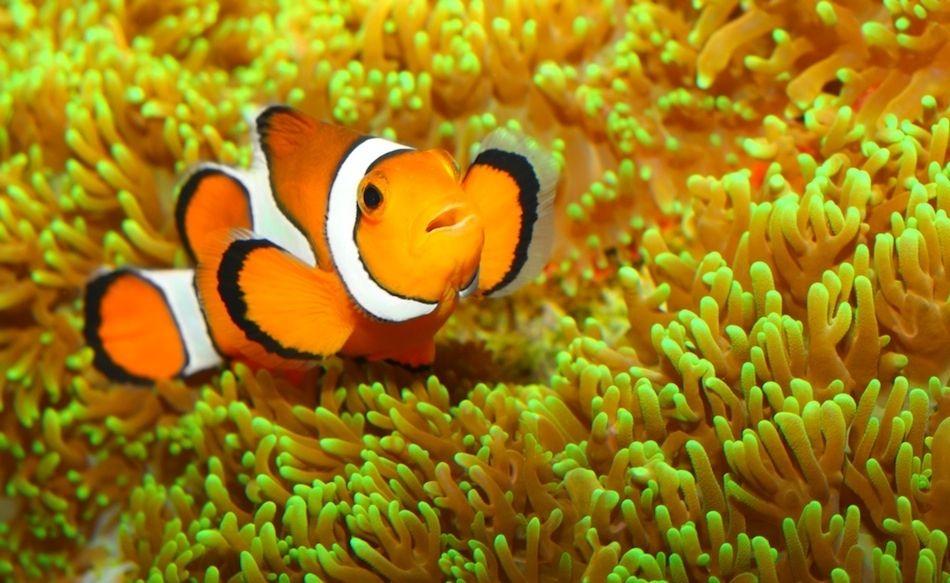 Clownfish Balik Cizimler Hayvanlar