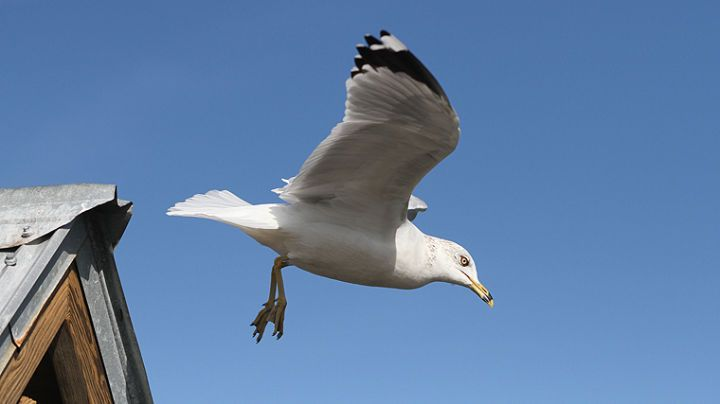 A Ring-billed Gull departs from his perch after visitors stopped feeding them at Riverview Park