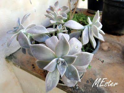 Planta-madrepérola  (Graptopetalum paraguayense) Crassulaceae Suculenta em roseta, com cor variando do branco ao cinza, com  tonalidades azul ou verde. Caule geralmente ereto, com até 10 cm.