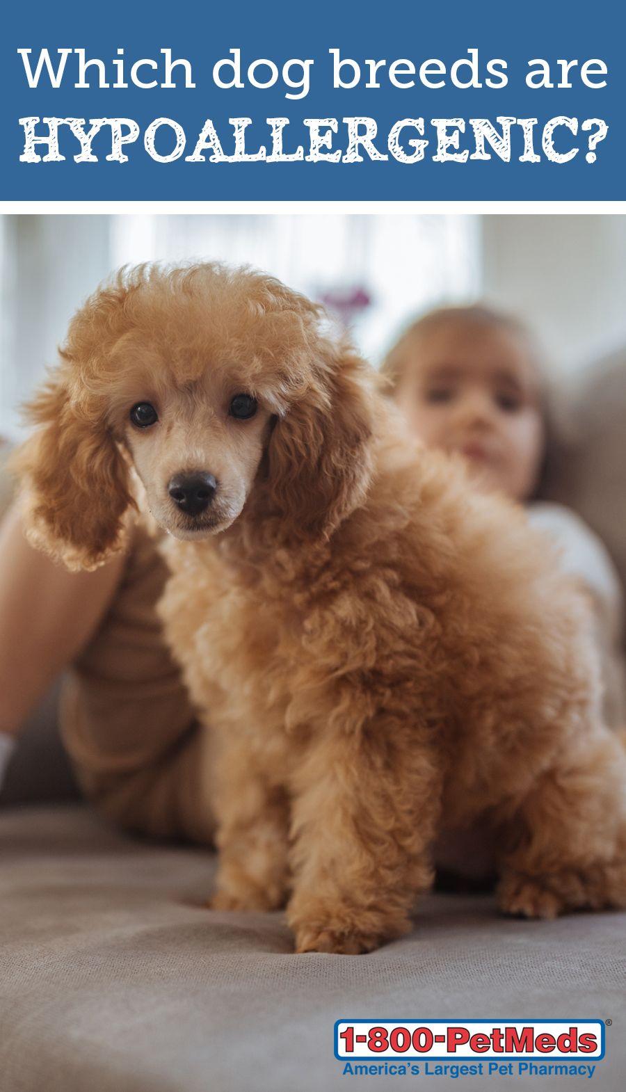 Hypoallergenic Dog Breeds 1800PetMeds® Hypoallergenic