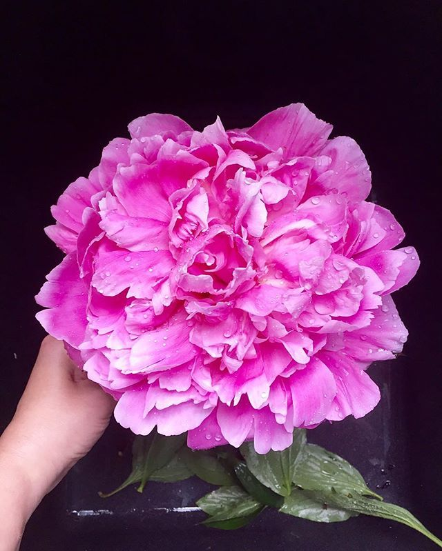 My peonies finally bloomed! 😍😍😍 And they are bigger than ever this year! Ginormous flowers! 💗💗 I'm a happy girl. 😊