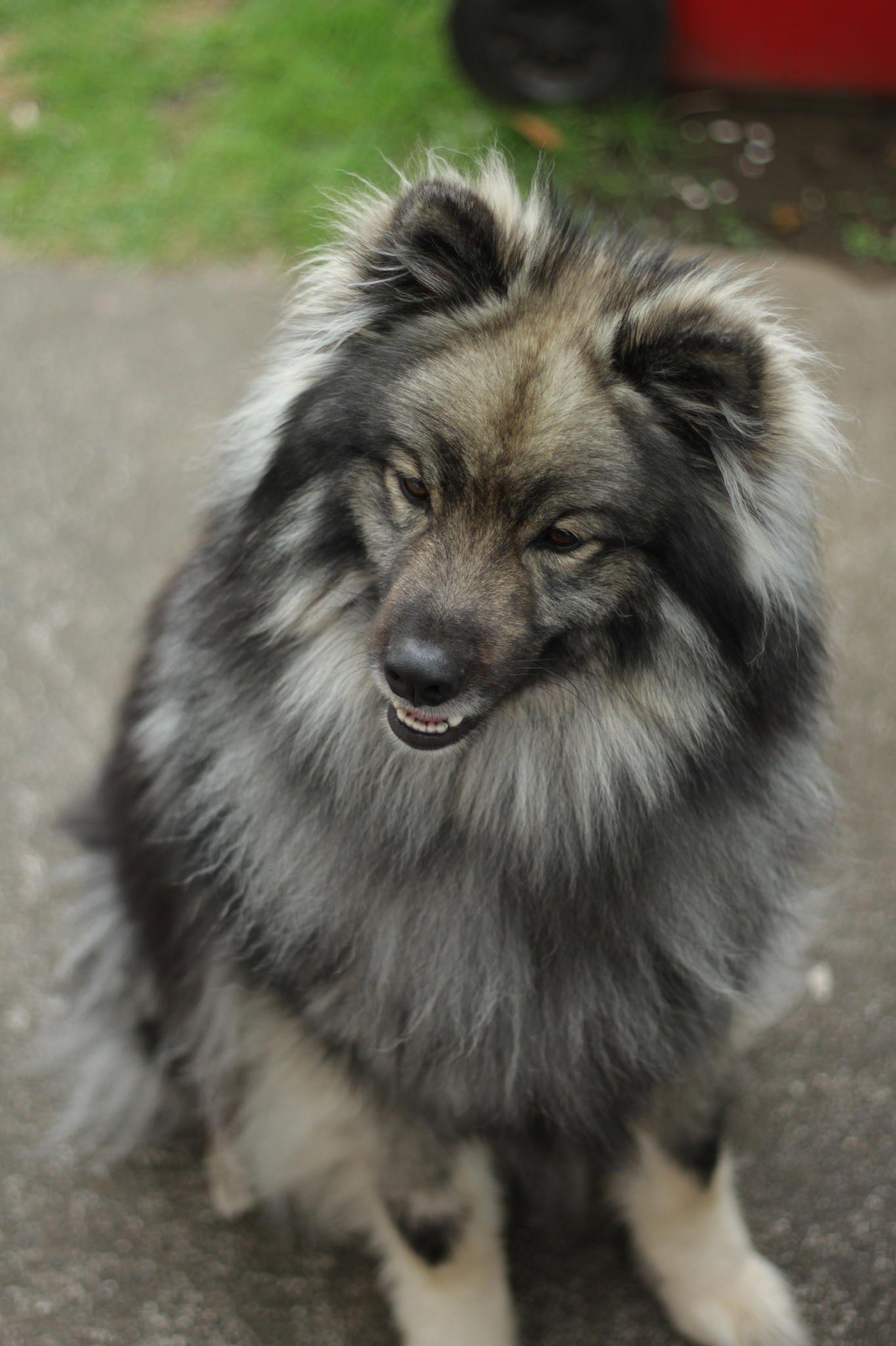 Bert - Smile! Bert - Finnish Lapphund cross Keeshond ...