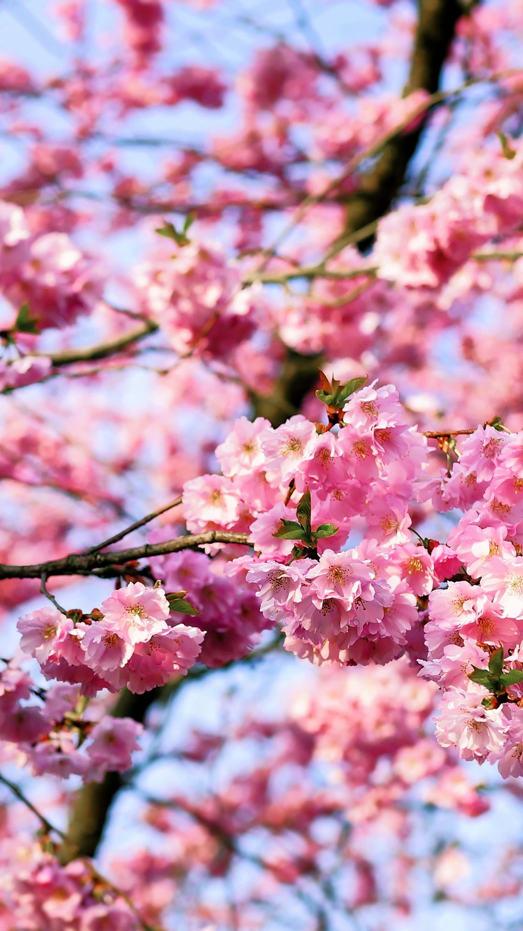 Cherry Blossom Iphone 1080x1920 Cherry Blossom Tree Pink Nature Blossom Trees