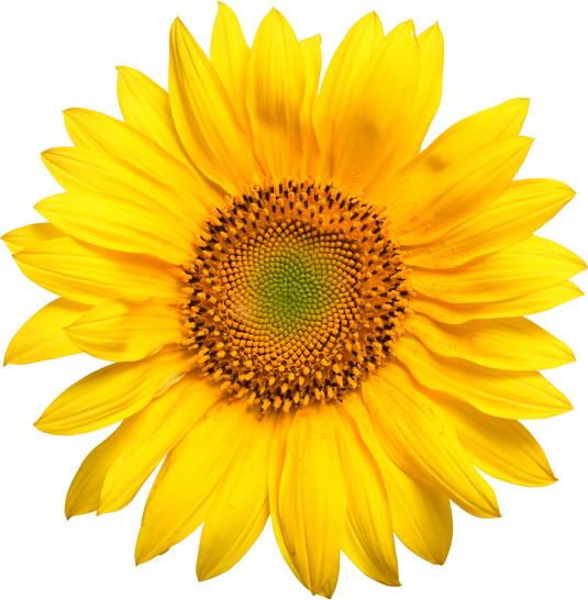 .:: Rocky Creek Farm::. Sunflowers