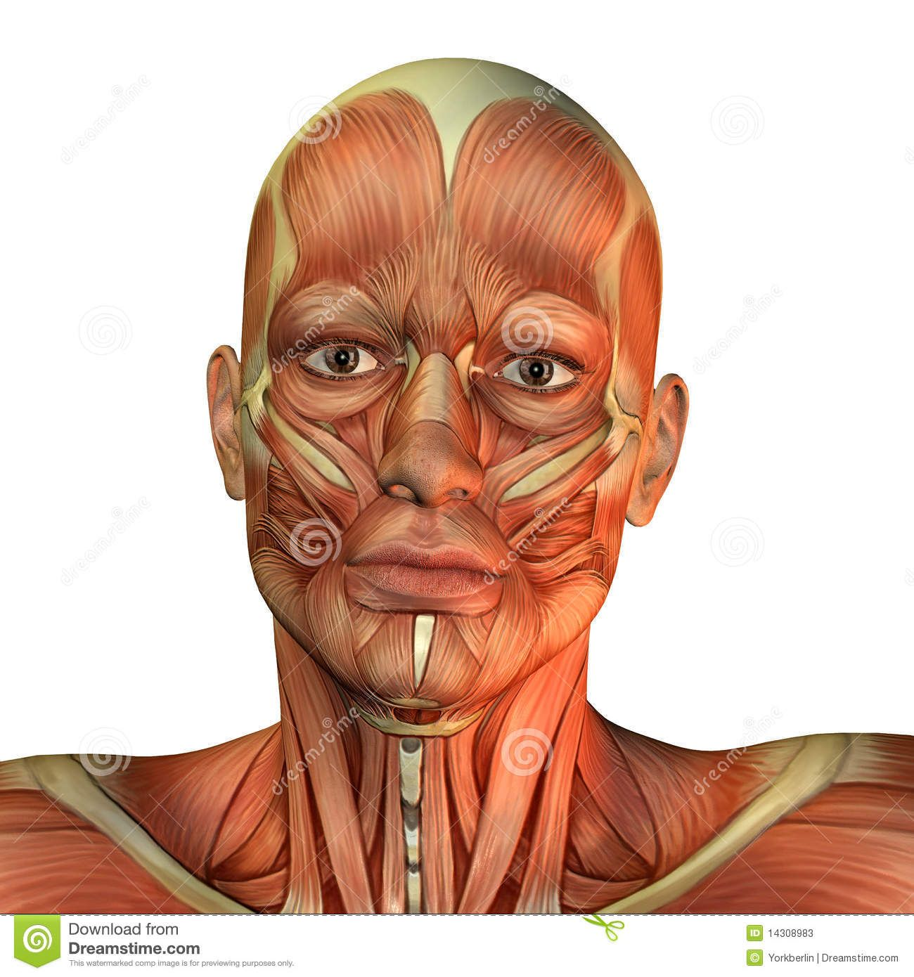 Muscle Man's Face Front View - Download From Over 37 Million High Quality Stock Photos, Images, Vectors. Sign up for FREE today. Image: 14308983
