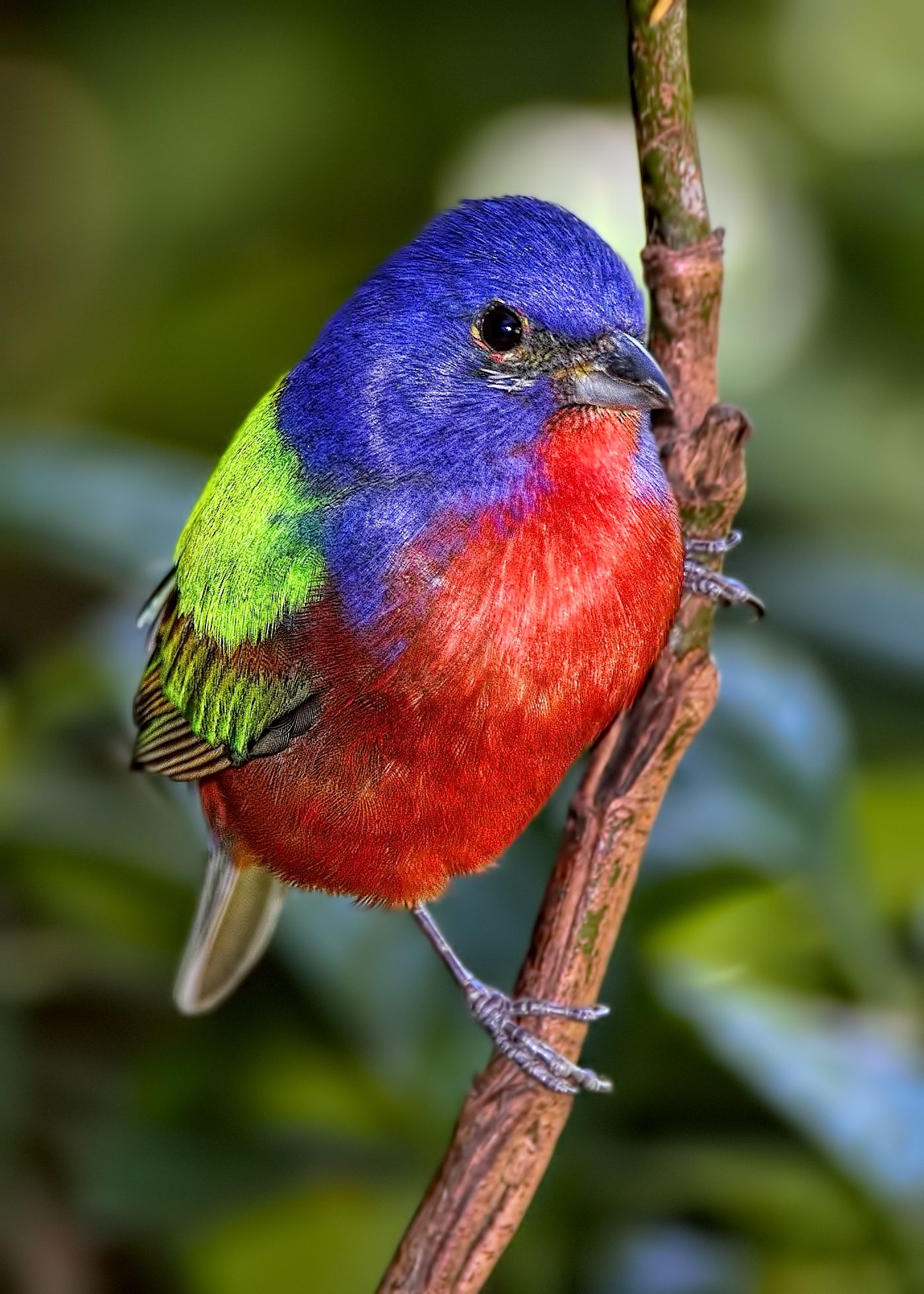 the atlanta area is a little to far inland for the painted bunting