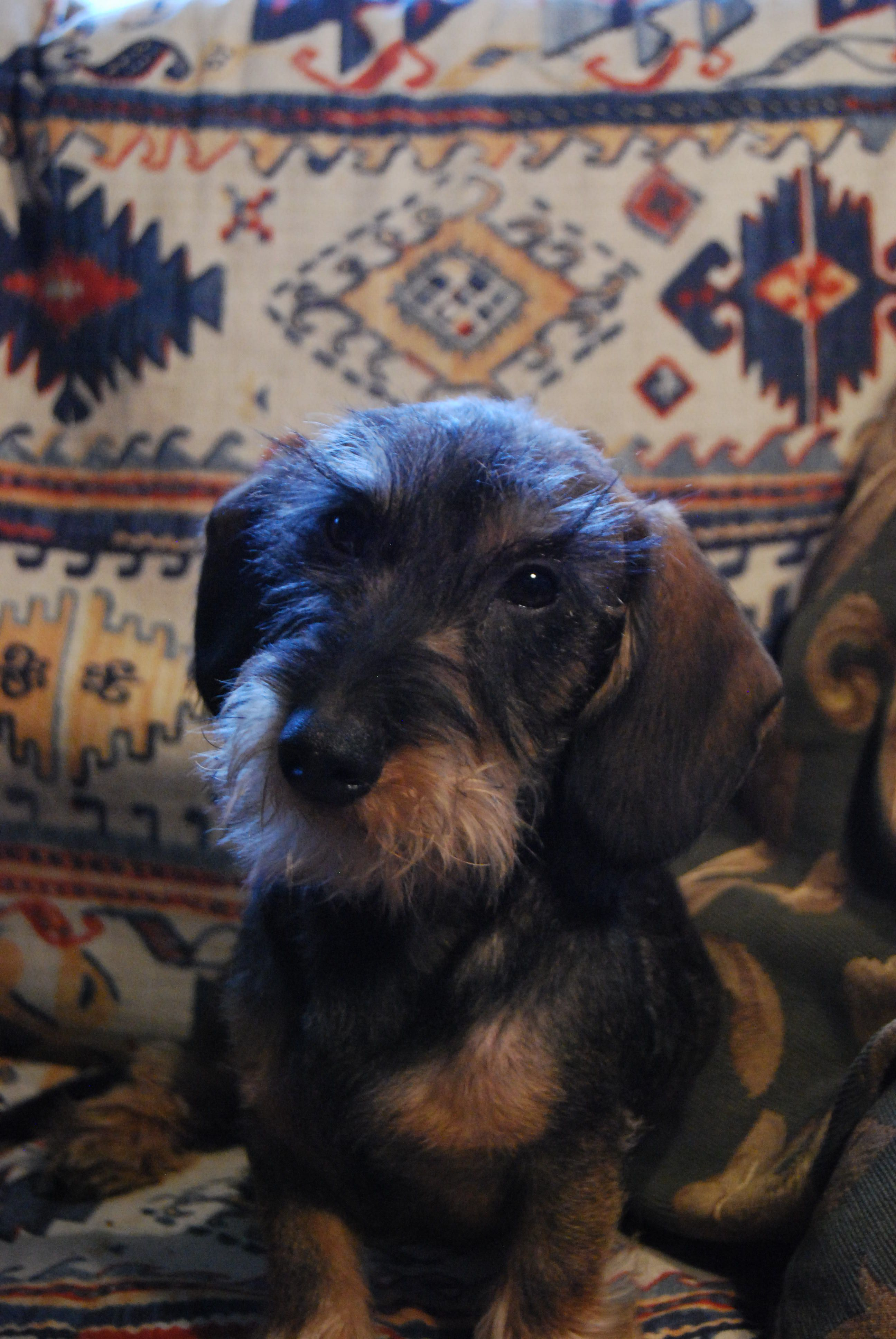 Rufus Wirehaired Miniature Dachshund Mini Dachsies Wire