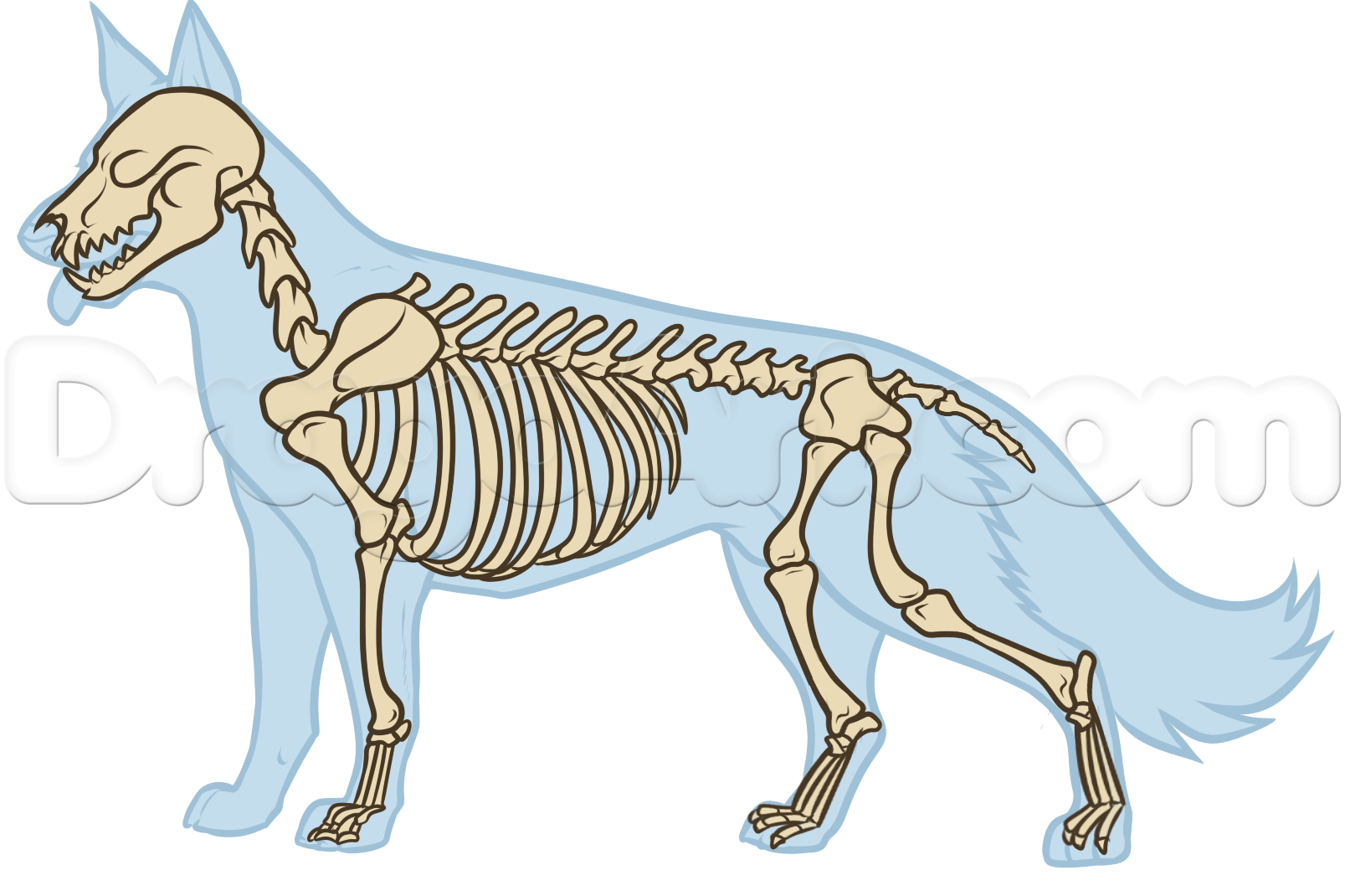 Dog bone anatomy